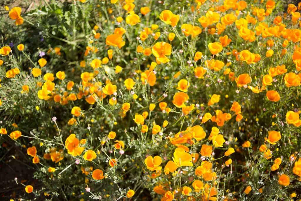 California-Poppies-Super-Bloom